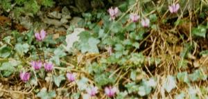 Wilde clematis bloeit op de oevers van de Vierwaldstättersee.