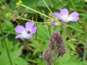 In de bergen vind je de mooiste bloemen. Vooral in het Rijndal.