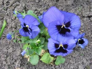 Winterviooltjes bloeien zodra het even niet vriest. Ze zijn beresterk en passen in alle tuinen.