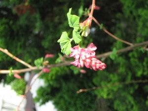 De ribes valt onder de vaste planten en staat in het vroege voorjaar in volle bloei.
