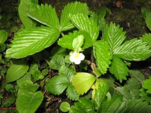 Sommige aardbeienplanten dragen al vroeg in het voorjaar bloemetjes, evenals het andere fruit.