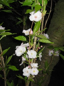 Naast de bloeiende prunus staan ook de knoppen van fruit planten op springen.