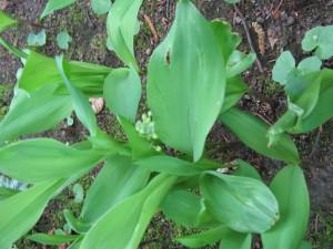 Vaste planten, zoals Lelietjes van Dalen, staan in de knop.