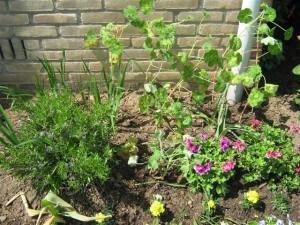 Planten poten is iets waar men voorzichtig bij te werk moet gaan. Als een paar doorgeschoten, gammele soldaatjes staan de afrikaantjes te wiegelen in de wind.