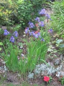 Lissen zijn een dankbaar volkje in de onderhoudsvrije tuin: ze vermeerderen zich en bedekken al snel de open ruimte met blad en bloemen.