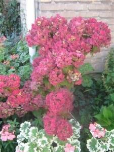 De hortensia levert prachtig materiaal voor uw herfststukjes op. Dat moet wel even goed gedroogd worden.