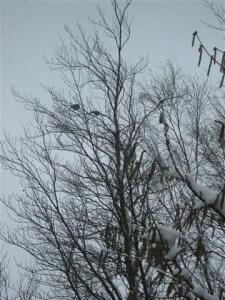 Sneeuw in Limburg. De vogeltjes zitten hoog in de boom te kleumen van de kou.