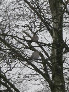 Een echt winter beeld. De duiven zitten te kleumen in de hoge bomen.