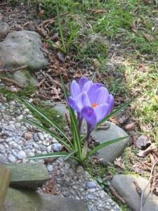 Krokussen bloeien vaak prachtig op de meest onverwachte plaatsen in de tuin.
