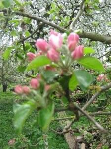 Een andere foto uit onze bloesemtochten is deze appelbloesem. Appelbloesem ziet er in de knop prachtig roze uit.