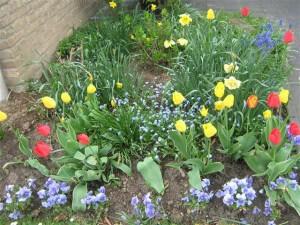 Kijk bij bloesemtochten ook eens op de grond en in de tuinen. In veel tuinen bloeien prachtige voorjaarsbloemen.