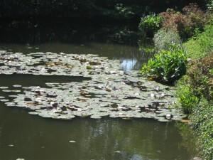 Boringen naar schaliegas kunnen schade toebrengen aan het grondwater en op den duur ook aan het oppervlaktewater. Of deze waterlelies over 20 jaar nog even uitbundig bloeien?