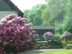Hortensia's en Rododendrons fleuren een tuin enorm op.